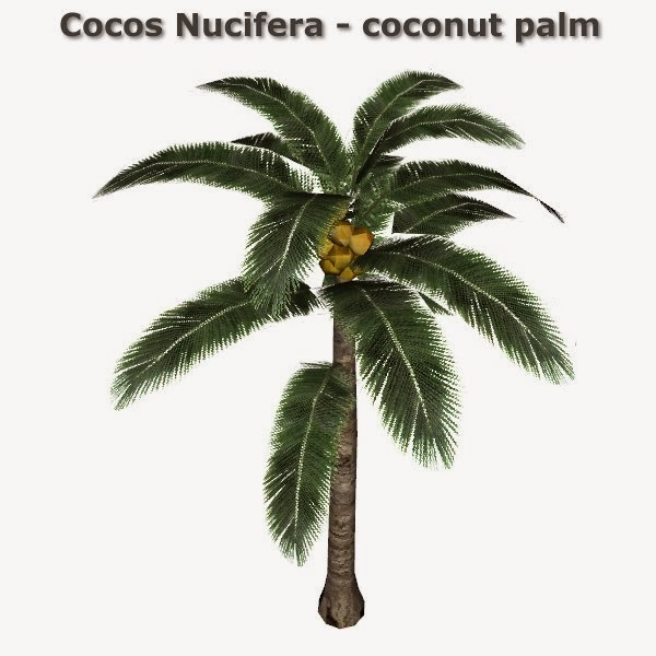 Cocos Nucifera - coconut palm by CFP